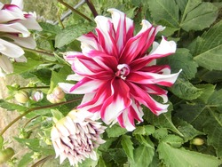 pink and white dahlia flowers with burgeon