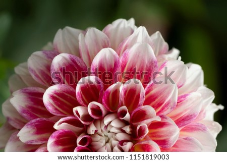Pink and white Dahlia. Macro photo of flower in details
