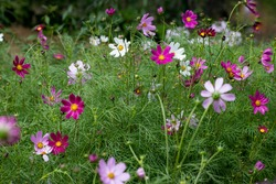 Pink and white flowers of Cosmea on a background of green shoots