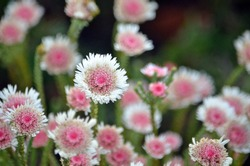 Pink and white flowers of the Australian native Albany daisy, Actinodium cunninghamii, family Myrtaceae. Endemic to south west Western Australia.