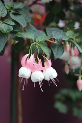 Pink and white fuchsia flowers will bright your day during this pandemic