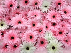 Pink and White Gerbera Daisy Flowers
