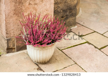 Pink and white heather in a white pot on a cobbled street. Street decoration.