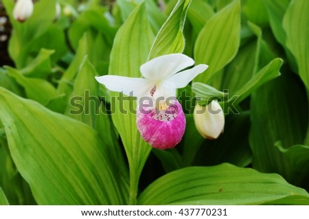 Free photos pink and white lady slipper orchid flower cypripedium pink and white lady slipper orchid flower cypripedium reginae 437770231 mightylinksfo
