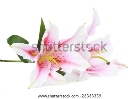 pink and white lilies, isolated on white