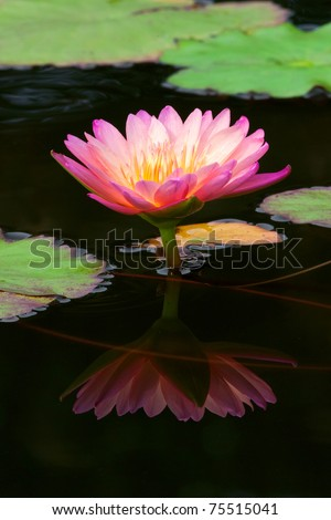 Pink and White Lotus flowers Or Water lilies