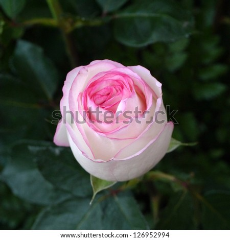 Pink and white of rose