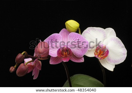 Pink and white orchids in bloom