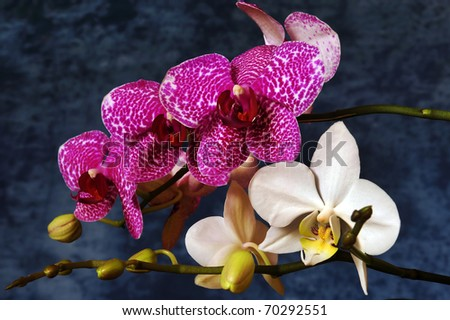 Pink and white orchids on a dark background