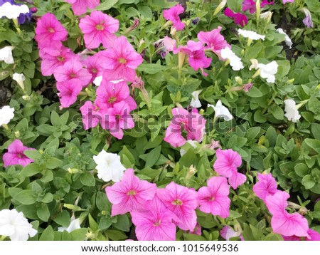 Pink And White Petunia Flower In The Garden Ez Canvas