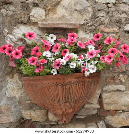 pink and white petunias on wall, Italy