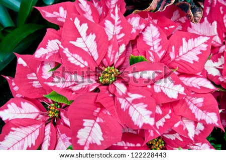Pink and white poinsettias, Christmas flowers