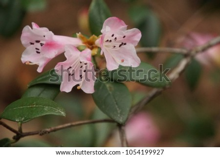 Pink and white rhododendron flowers in the spring in the Seattle Arboretum, Washington