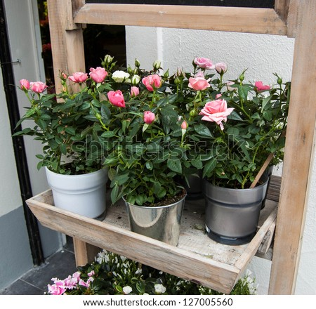 Pink and white roses in a pots in the entry to flower shop.