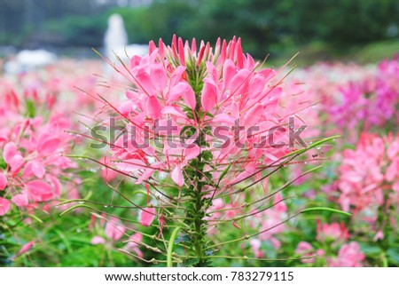 Pink And White Spider Flower Cleome Hassleriana In The Garden Ez