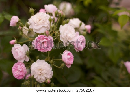 Pink  and White Tea Roses foreground in focus and with a short depth of field a soft focus of background roses