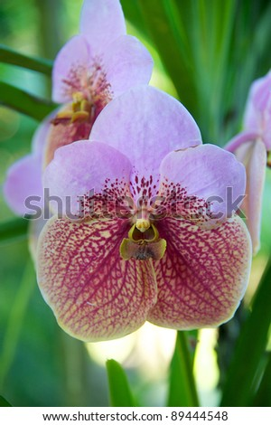 Pink and White Vanda orchid growing outdoors in Thailand