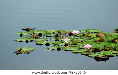 Pink and white water lillies sitting on a bed of green plants on a calm, blue reflection pond in Northern Maine