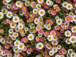 Pink and white wild daisies, spring flower background, Devon, UK. Erigeron karvinskianus aka Mexican fleabane.