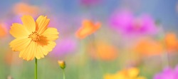 Pink and yellow cosmos flower field background.Beautiful cosmos flower natural garden in countryside.Flower field in summer concept.