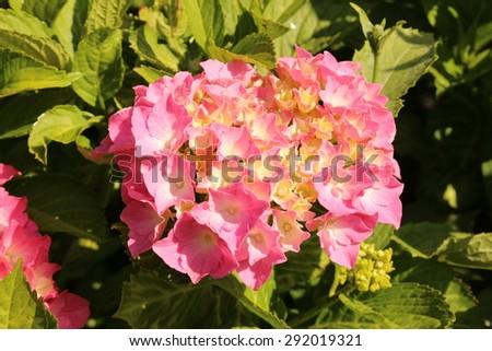 Free photos pink and yellow french hydrangea flowers or bigleaf pink and yellow french hydrangea flowers or bigleaf hydrangea lacecap hydrangea mightylinksfo