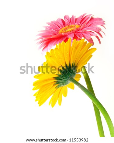 Pink and yellow gerber flowers on white background