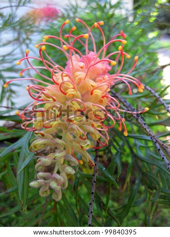 pink and yellow grevillia