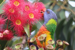 Pink and yellow gum nut flowers with a rainbow lorikeet feeding and gum leaves. Flowering gum tree. Corymbia ficifolia.