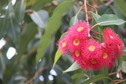 Pink and yellow gum nut flowers with gum leaves. Corymbia ficifolia