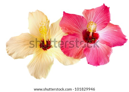 pink and yellow hibiscus blooms isolated on white