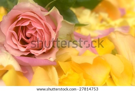 Pink and yellow petals and roses on white