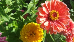Pink and Yellow Round Flowers with Many Pedals