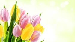 Pink and yellow tulip flowers on a green abstract background