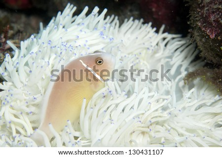Pink anemone fish and White anemone