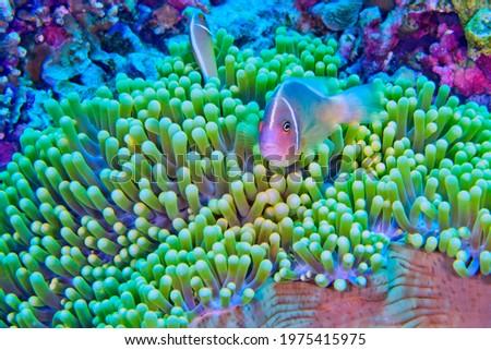 Pink Anemonefish  Amphiprion perideraion  Magnificent Sea anemone  Ritteri anemone  Heteractis magnifica at  Bunaken National Marine Park in Bunaken  North Sulawesi  Indonesia  Asia Foto stock ©