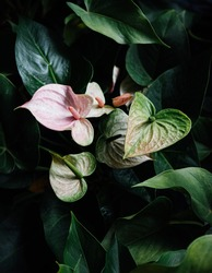 Pink Anthurium flower or Flamingo Flower with lush dark green leaves background. Top view