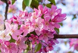 Pink apple tree flowers. Blossom branch of Crabapple. Delicate spring background.