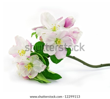 pink apple-tree flowers isolated on white background with green leafs on branch