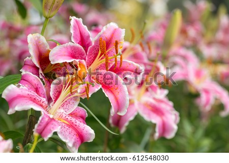 Pink Asiatic lily flower in the garden