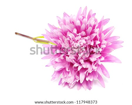 pink aster flower on a white background