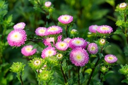Pink aster flowers (Callistephus Chinensis) is blooming with a blurred background. Colorful flower bouquet in the summer garden.