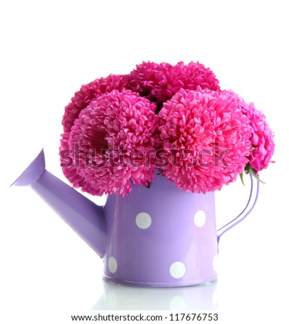 pink aster flowers in watering can, isolated on white