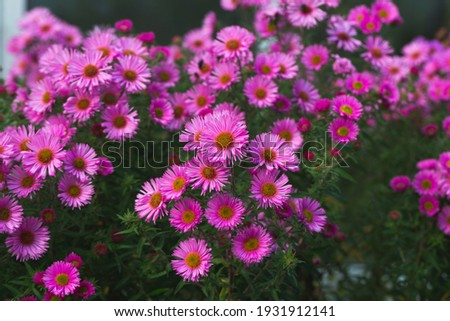 Pink asters flowerbed. Beautiful flowers in the garden. Aster petals close up. Bright romantic floral background. Purple flowers on a green background. Flowering plant Foto stock ©