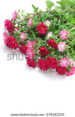 Pink asters on white background  #278182250