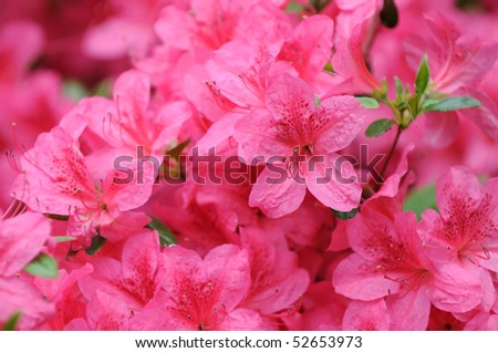 Pink azalea background