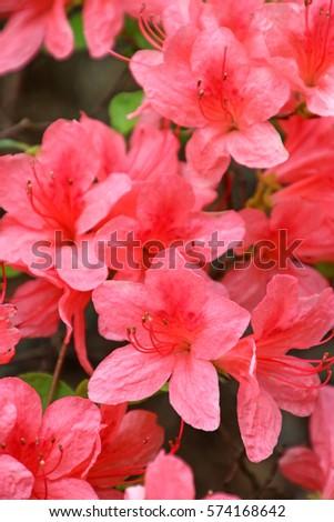 Pink azalea blossom in springtime.