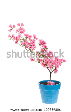 Pink azalea branch in a flower pot isolated on white