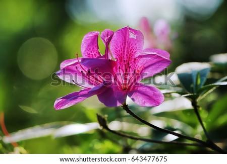 pink azalea flower blooming bokeh background