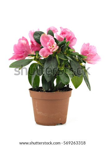 Pink azalea flowers in plastic pot on a white background  #569263318
