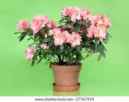 Pink azalea flowers in pot over light green background #27767914